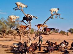 In Morocco the goats are so attracted by the berries of Argan trees that they have adapted themselves to climb the trees, the goats teach their younger ones to do the same, thus most of the goats in Morocco have learned to climb trees.