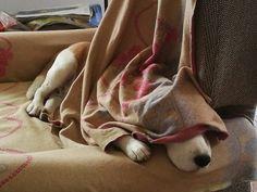 Non disturbare: sto riposando... Beagle OTTO