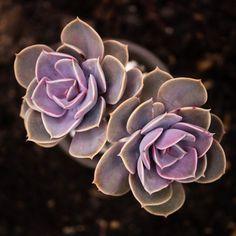 Echeveria 'Perle von Nurnberg' 紫珍珠 2019-08-25 #多肉植物 #succulents #多肉 #echeveria #拟石莲属 #echeveriaperlevonnurnberg