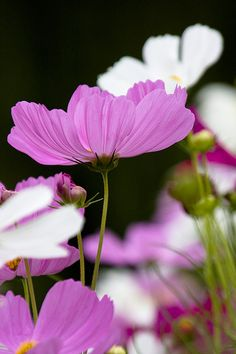 ~~pink and white cosmos by yocca~~