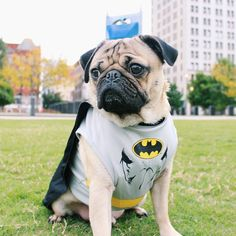 Doug the Pug is rocking this Batman costume.