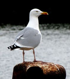 Herring gull. Spotted: Whitby • Middlesbrough • Newcastle • Redcar • Culgaith (100+) • Hunsonby •