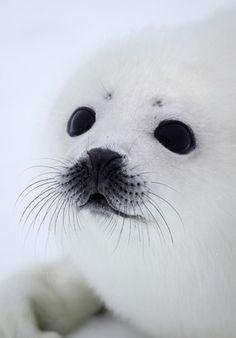 Awesome and beautiful!  Baby seal  by Alexander Zemlianichenko