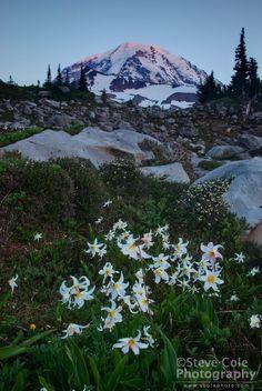 last light on Mount Rainer Mount Rainier National Park, Washington State, Climbing, National Parks, Scenery, Wildlife, Hiking, Mountains, Places