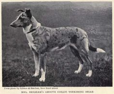 1902 Smooth Collie