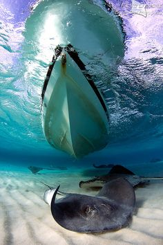 Sting Rays cruising beneath a boat