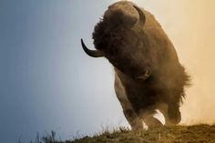 American Bison. More American than horses