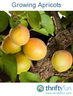This is a guide about growing apricots. Growing your own fruit can be a rewarding experience. Fruit Garden, Garden Trees, Edible Garden, Vegetable Garden, Espalier Fruit Trees, Trees To Plant, Apricot Tree, Growing Fruit Trees, Growing Herbs Indoors