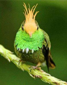 Stunning Rufous-crested Coquette Hummingbird!