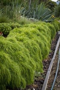 Good for a low border plant | Acacia Limelight 051