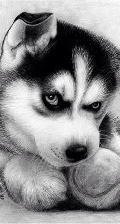 ~ ADORABLE HUSKY PUP ~
