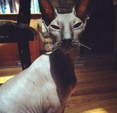 Mayim Bialik's hairless cat Esau - The Big Bang Theory on CBS