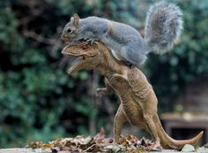 A feisty squirrel takes on a fearsome foe when he decides to tackle a Tyrannosaurus rex. After sniffing out the plastic enemy, he climbs onto the dinosaur's back in order to claim victory.Picture: Max Ellis/