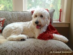 Jack the Goldendoodle lounging on the settee