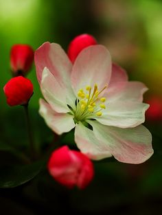Apple Blossom photo by YG Low