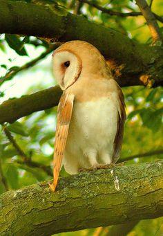 cd...Barn Owl, female