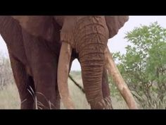 Satao – The Death of a Great Tusker – Published on Jun 2014 – Satao, a elephant was killed by poachers in May. This is some of the last footage of the majestic bull elephant that was taken by the crew documenting the Great Elephant Census. Elephant Gif, Bull Elephant, African Elephant, Elephant Videos, Keystone Species, Species Of Sharks, Free Planet, How Do You Stop