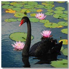 Black swan, rosa Seerosen