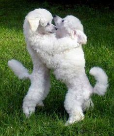 Dance with me? #whitepoodle #poodle #puppies