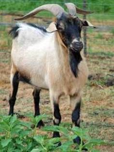 10 Best Spanish goats images in 2018 | Goats, Spanish, Animals