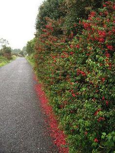 red fuchsia in West Cork!