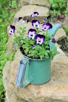 Sweet Violas ~ Violas planted in my old oil can