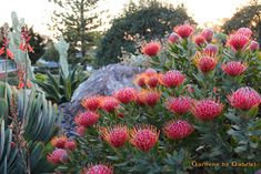 Leucospermum-Scarlet-Ribbon-Pincushion It would be nice to have some colour through native plants on the street side garden Australian Garden Design, Australian Native Garden, Australian Native Flowers, Australian Plants, Garden Shrubs, Succulents Garden, Garden Landscaping, Hydrangea Landscaping, Residential Landscaping