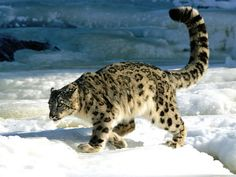 Snow Leopards Discovered Flourishing in Afghanistan