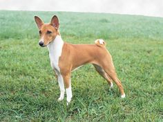 Basenji: Maddie's other 1/2 with German Pointer but she looks just like this but with a pink nose and the floppy Pointer ears. Personality; all Basenji. It is a fascinating breed and their traits run deep.