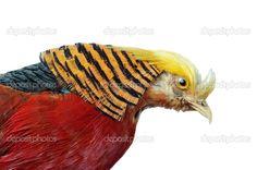 Google Image Result for http://static8.depositphotos.com/1034911/992/i/950/depositphotos_9922077-Golden-Pheasant.jpg