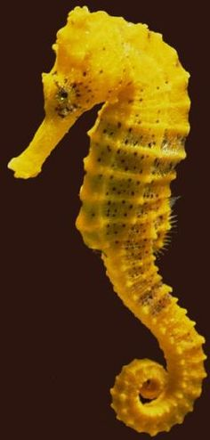 YELLOW BLOG SEA HORSE. I've never seen one so close.