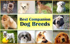 Best Companion Dog Breeds https://didyouknowpets.com/2016/10/21/best-companion-dog-breeds/