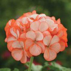 Pelargon Geranium Divas Orange Ice F1 | Wexthuset