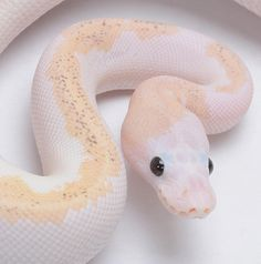 Reptiles Aesthetic Animals - Reptiles aesthetic _ reptilien ästhetisch _ reptiles esthétique _ reptiles e - Les Reptiles, Cute Reptiles, Reptiles And Amphibians, Reptiles Preschool, The Animals, Baby Animals, Pretty Snakes, Beautiful Snakes, Amazing Animals