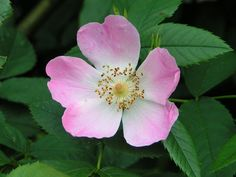 Wild Rose - Bach Flower remedy for apathy or resignation
