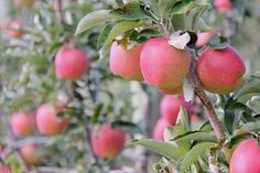 When To Pick Apples: A Harvesting Guide For Apple-Picking Season
