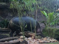 This is a Pygmy Hippo.