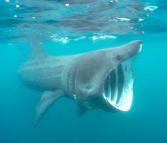 Basking Shark--second largest shark after the Whale Shark and like the Whale Shark does not go after large prey, but rather small prey, much like a whale. -G