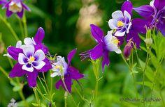 Colorado Columbine More vibrant purple