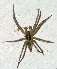 Grass Spider – Get to Know the Grass Spider - http://wolfspider.org/grass-spider/