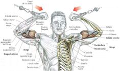 Bíceps, Brazos en cruz en Polea Alta