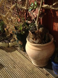 148 Cat-Plants You Probably Shouldn't Water Cat Plants, Camellia, Planting, Flower Pots, This Is Us, Planter Pots, Cats, Flower Vases, Plants