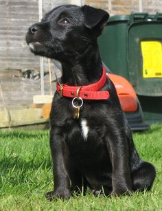Many Patterdale Terrier dogs in shelters or with rescue groups are already trained and ready to go! Adults have a much longer attention span than puppies, too, which means they're easier and faster to teach.