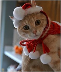 Sweet Christmas Cat in hat! funholidaycats.com