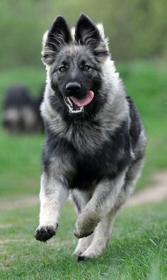 Beautiful dog in motion.