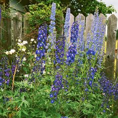 Delphinium Growing Conditions: Full sun to part shade and moist, well-drained soil Size: To 6 feet tall and 1 foot wide, depending on type Zones: 3-7, depending on type Grow it with: Blue-flowering dwarf delphiniums such as 'Butterfly Blue' or 'Summer Nights' look fantastic with the yellow blooms of Coreopsis 'Moonbeam' or Gaillardia 'Fanfare'.