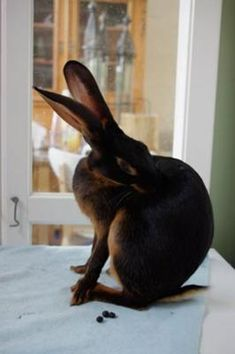 Beautiful 'Biscuit,' my Belgian Hare doe: Once I saw just one picture of the Belgian Hare I was sold...completely in love. Now I am a hobby breeder of black-tan Belgian Hares here in the Netherlands.