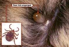 Can Ticks Attach To The Inside Of Dog S Mouth
