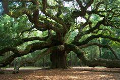 Angel Oak Park, Charleston, South Carolina