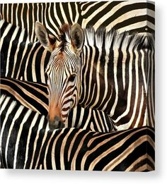 Modern African Zebra Print Wall Art for sale. Square format Photograph. Canvas, Acrylic Prints, Metal Prints, Posters and more. Diana van Tankeren - Art for your Home Decor and Interior Design Needs. Zebra Painting, Zebra Art, Stretched Canvas Prints, Canvas Art Prints, Framed Prints, Zebra Kunst, Zebra Print Walls, Diana, Black And White Canvas